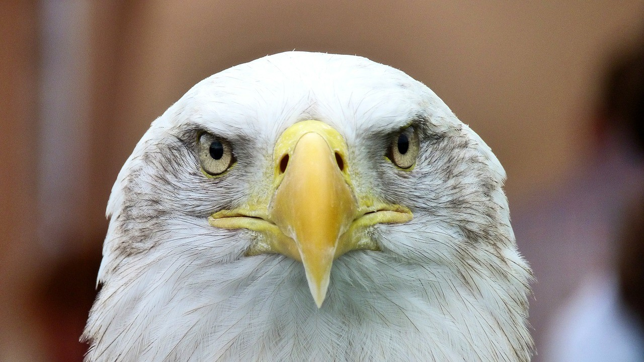 BALD EAGLES ARE BACK !  AND